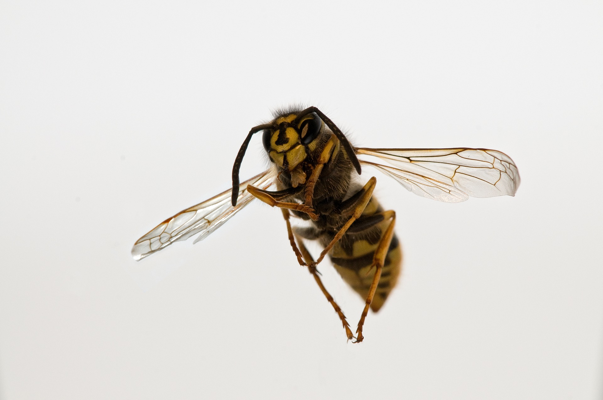 wespennesten